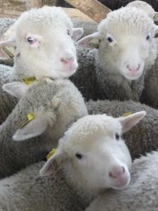 agneaux mérinos